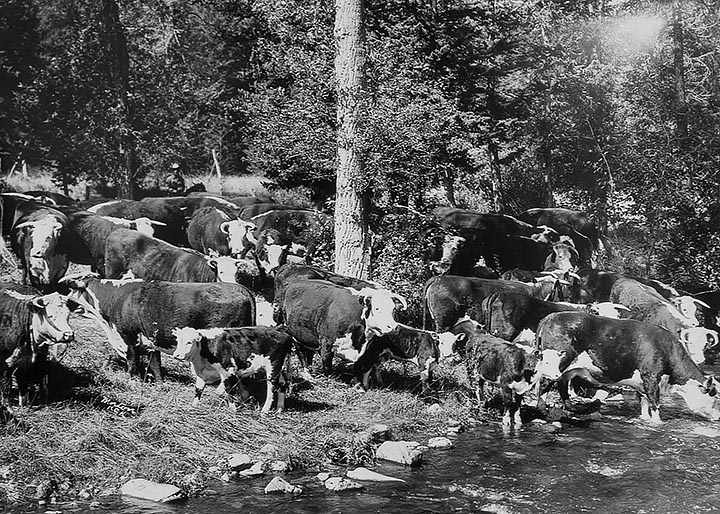 Willow Creek cow herd at summer pasture on Highwood Creek circa 1938-1940